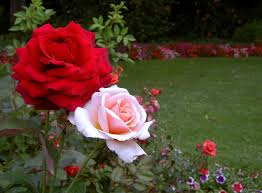 انواع الورد و صور ورد لكل نوع من الانواع مهداه الى عشاق الورود 475274307.jpg